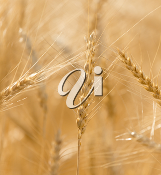 ears of wheat on the nature