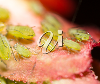 Green aphids on a red leaf in the nature. macro