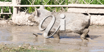 wild boar in the mud in the zoo