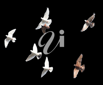 flock of pigeons on a black background