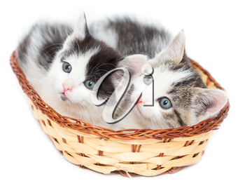 two kittens in a basket on a white background