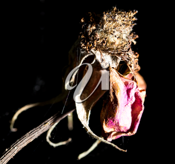 dry rose on the nature
