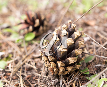Cones on the ground in the forest .