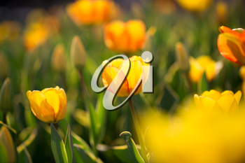 Beautiful yellow tulips in a park in nature