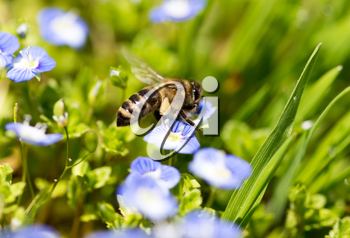 Bee on little blue flowers in nature .