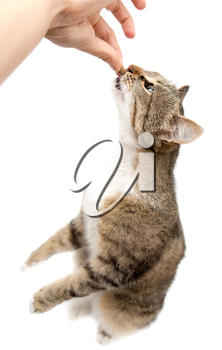 Man is feeding with a cat's hand on a white background .