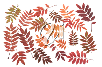 Royalty Free Photo of a Bunch of Autumn Leaves