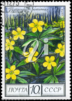 USSR - CIRCA 1975: A Stamp shows image of a Yellow Anemone with the designation Anemone ranunculoides, series, circa 1975