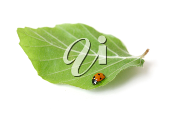 Royalty Free Photo of a Ladybug on a Leaf