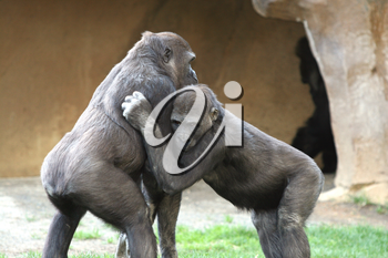 Royalty Free Photo of Two Gorillas
