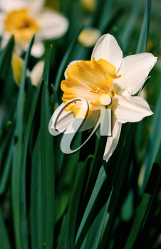 Royalty Free Photo of Narcissus