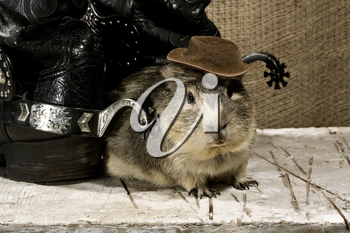 Royalty Free Photo of a Western Boot and a Guinea Pig