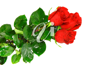 Beautiful three pink roses isolated on white background.
