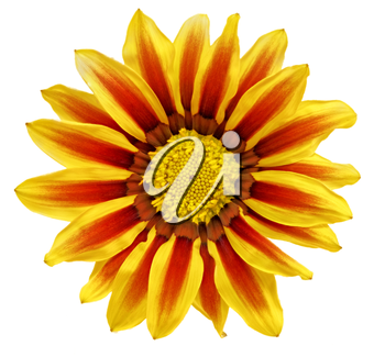 Single flower of tiger Gazania. (Splendens genus asteraceae).Isolated.