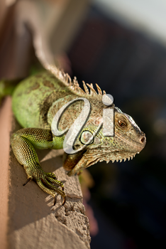 iguana posing at the sun and relaxing