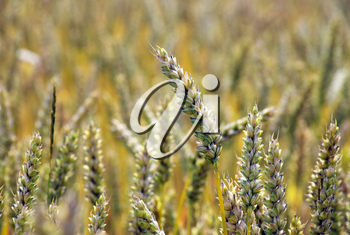 Royalty Free Photo of a Field of Wheat at the End of Summer