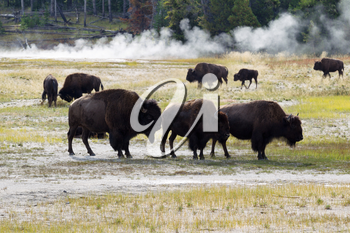 Horizontal image of a family of North American Buffalo with herd and hot springs in background within Yellowstone Park