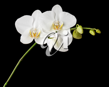 Three day old white orchid on black background. Closeup.