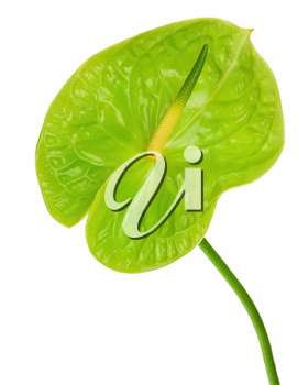 Green anthurium (Flamingo flower; Boy flower) isolated on white background. Closeup.