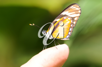 Royalty Free Photo of a Tiger Mimic Butterfly on a Finger