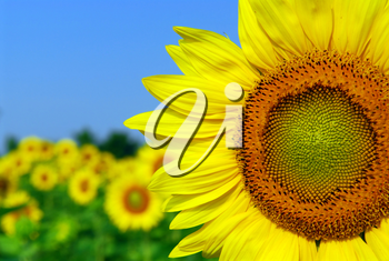 Background of sunflower field with one flower close up