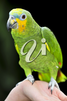 Yellow shouldered Amazon parrot perched on hand