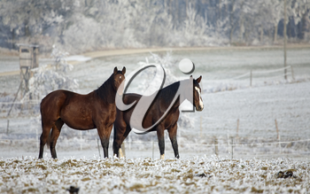 two horses standing on a field in winter, in the background a winter countryside