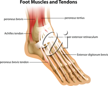 Illustrattion of the foot muscles and tendons on a white background