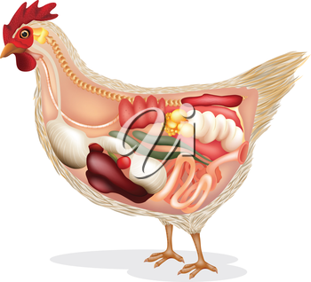 Illustration showing the chicken's anatomy on a white backgrund
