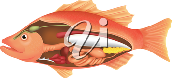 Illustration of the anatomy of a fish on a white background