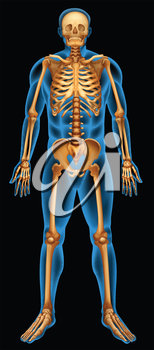Illustration of the human skeletal system
