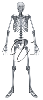 Illustration of the human skeletal system on a white background