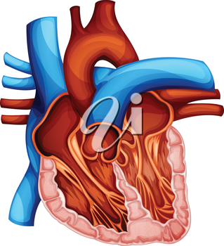 Illustration of a human heart cross section