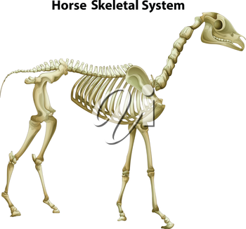 Illustration of the horse Skeletal System on a white background
