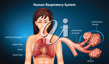 Illustration of the respiratory system of human