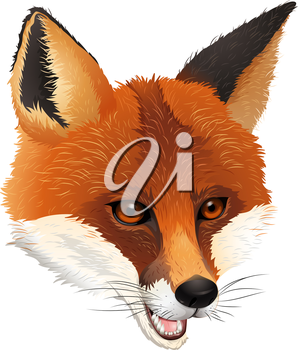 Illustration of a fox on a white background