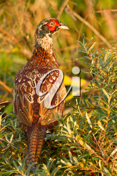 A close-up of a pheasant