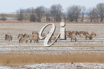A group of grazing Konik horses