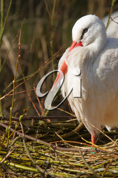 A stork is resting in its nest