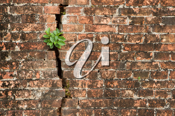 Brick wall with a crack and plants, isolated