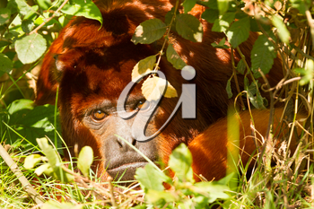 Mantled howler (Alouatta seniculus) resting on the ground