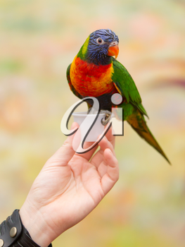 Australian rainbow lorikeet sitting on womans hand