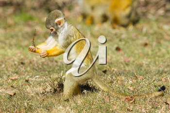 Squirrel Monkey (Saimiri boliviensis) in Holland looking for food