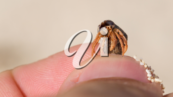 Very small lobster in a small shell, man holding in hand