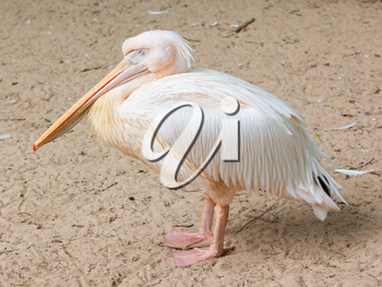 Close up of an adult pelican resting