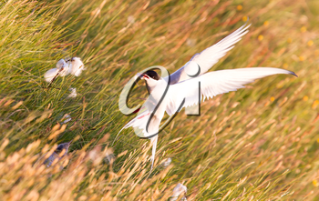 Arctic tern with a fish - Warm evening sun - Common bird in Iceland