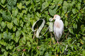 Bubulcus ibis, cattle egret, in a tree