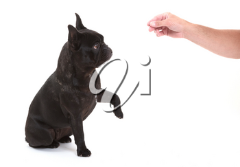 French bulldog giving a paw, selective focus