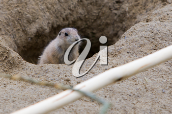 Prairie dog checking out, entrance to a hole