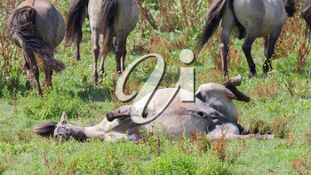 Happy Konik horse rolling in the grass